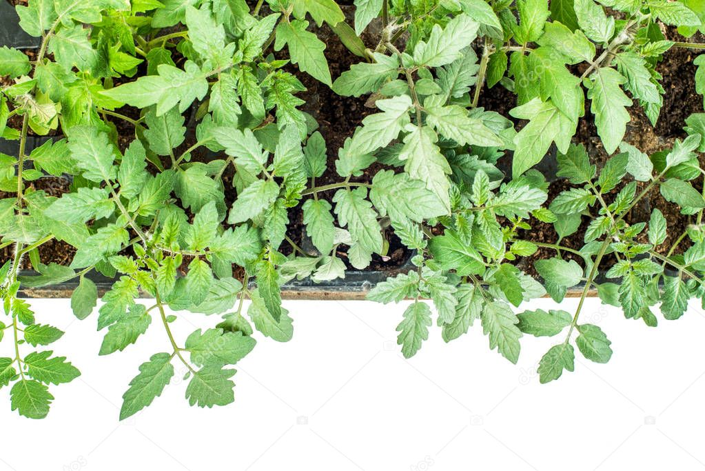 Tomato plants in a cassette for seedlings on a white background