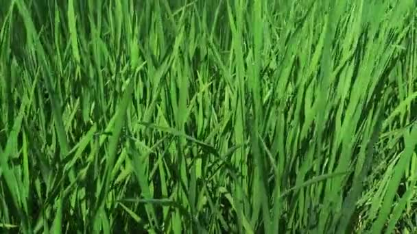 Green Sprouts of Rice