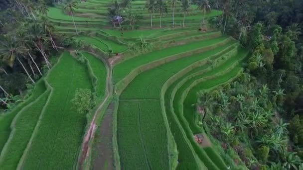 Aerial video above rice terraces