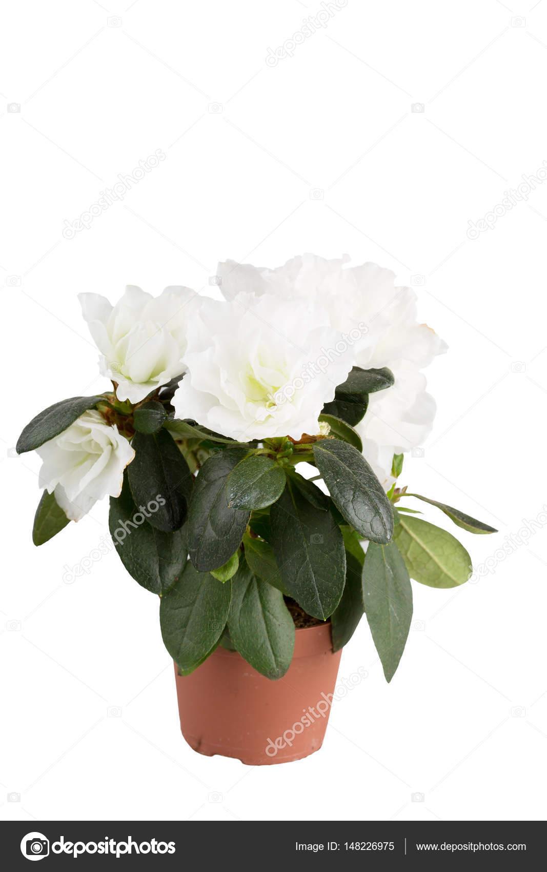 Mini Azalea With Big White Flowers Stock Photo Lenorlux 148226975