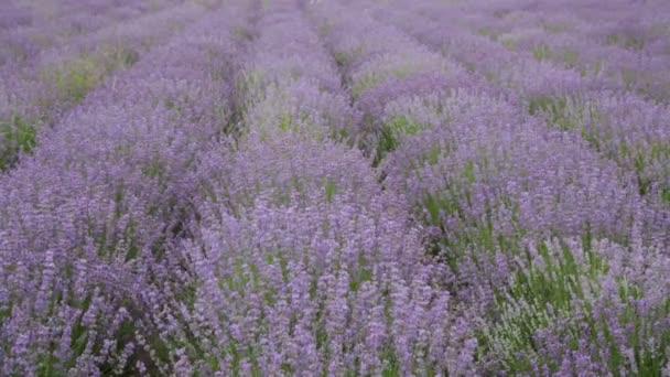 Velké zorné pole kvetoucí levandule