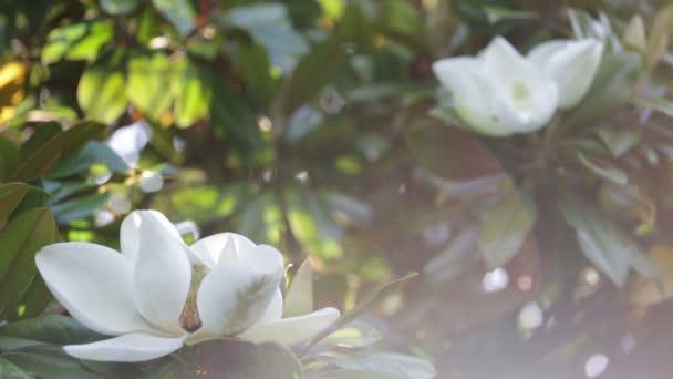 Větev s květem bílá Magnolia zblízka