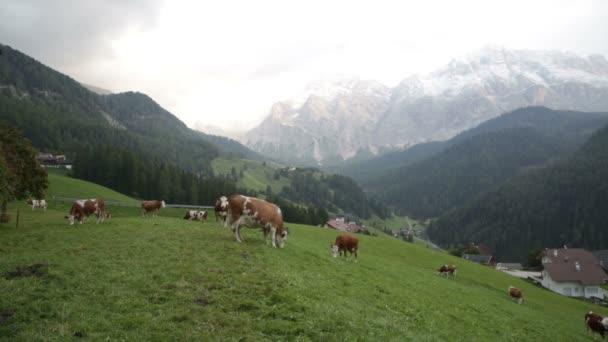 Stádo krav na louce v Alpách, Itálie