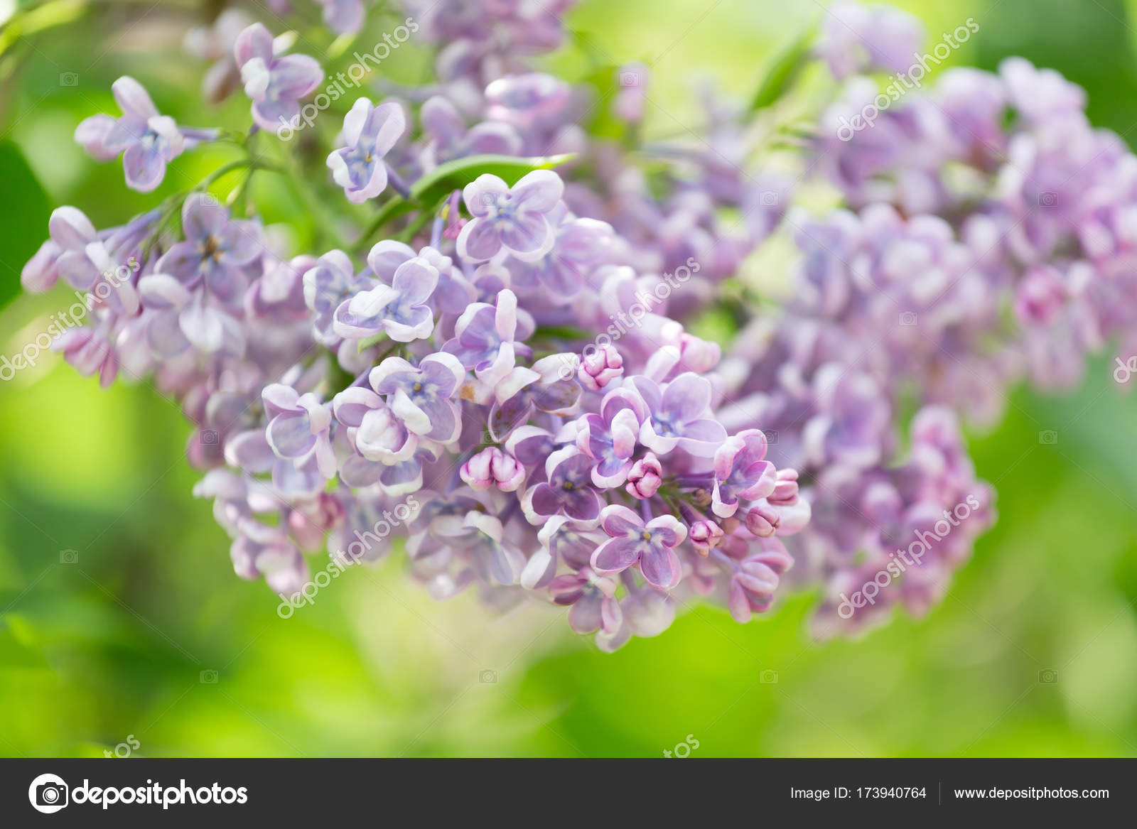 комнатное цветок бересклет фото