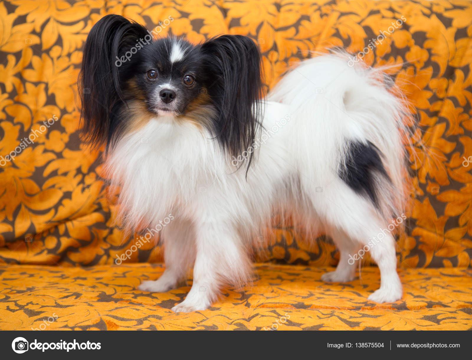 Fantastic Papillon Canine Adorable Dog - depositphotos_138575504-stock-photo-portrait-of-a-dog-breed  HD_32562  .jpg
