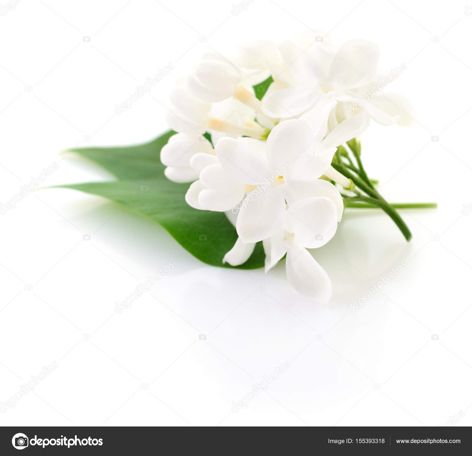 White Lilac Flower Stock Photo Tsekhmister 155393318