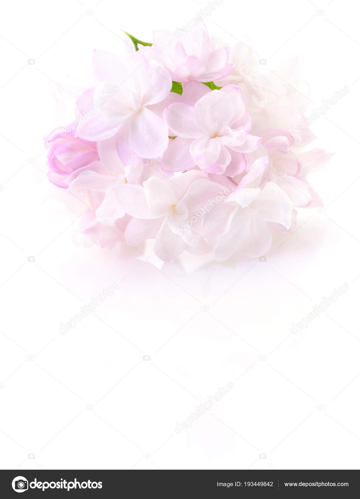 Pink Lilac Flower Stock Photo Tsekhmister 193449842