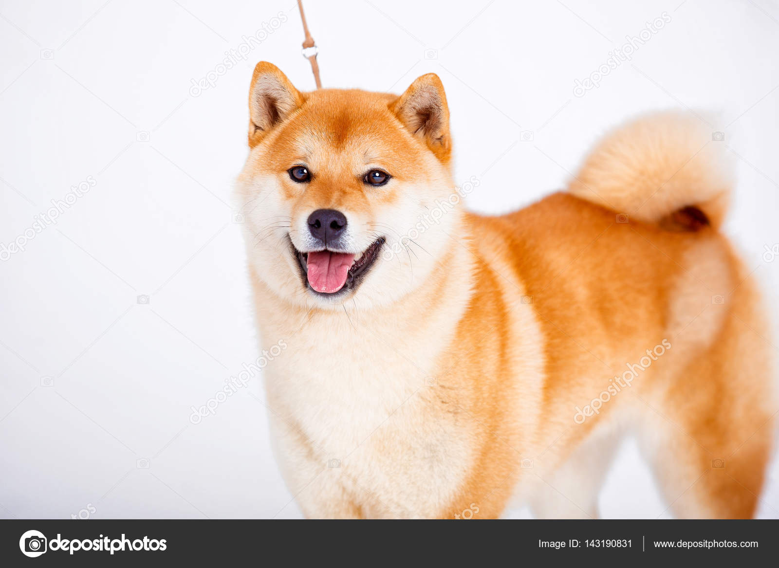 shiba inu hund auf wei em hintergrund stockfoto akbudak 143190831. Black Bedroom Furniture Sets. Home Design Ideas