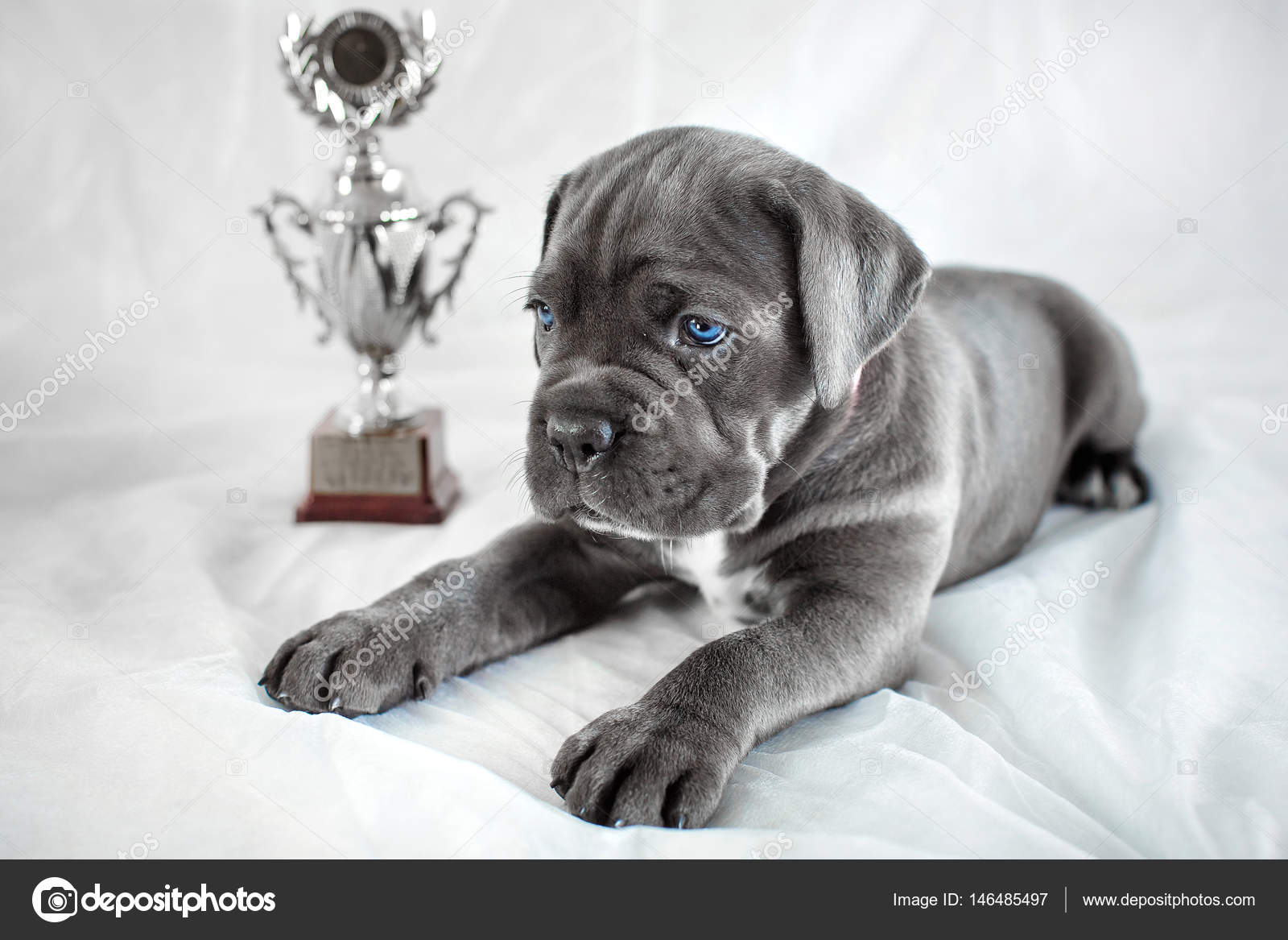 Puppy Cane Corso Gray Color On The Background Stock Photo