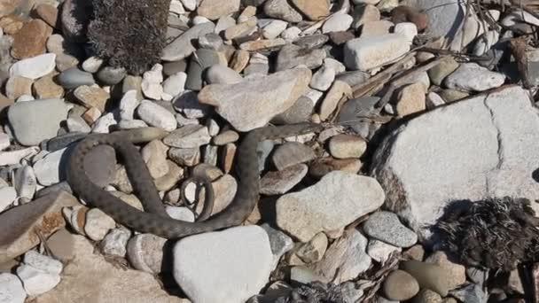 Elaphe dione, obyčejně známý jako ratsnake si Dione, stepní ratsnake nebo ratsnake stepí je druh hadů z čeledi Colubridae