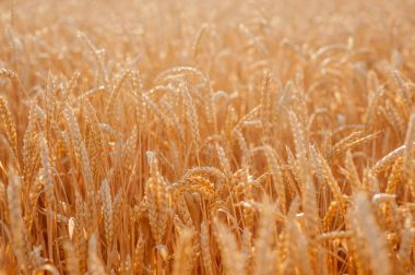 wheat close-up in the field