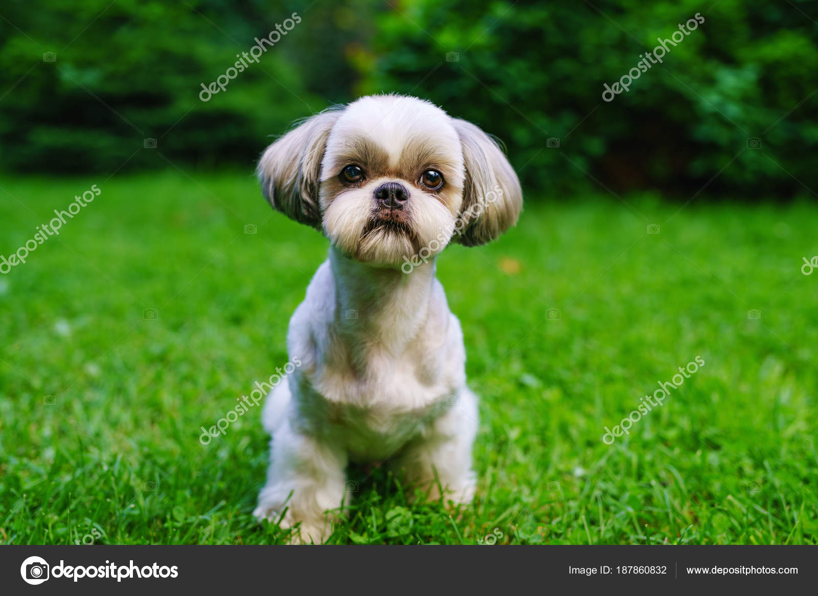 ᐈ A A Shih Tzu Stock Pictures Royalty Free Shih Tzu Photos Download On Depositphotos