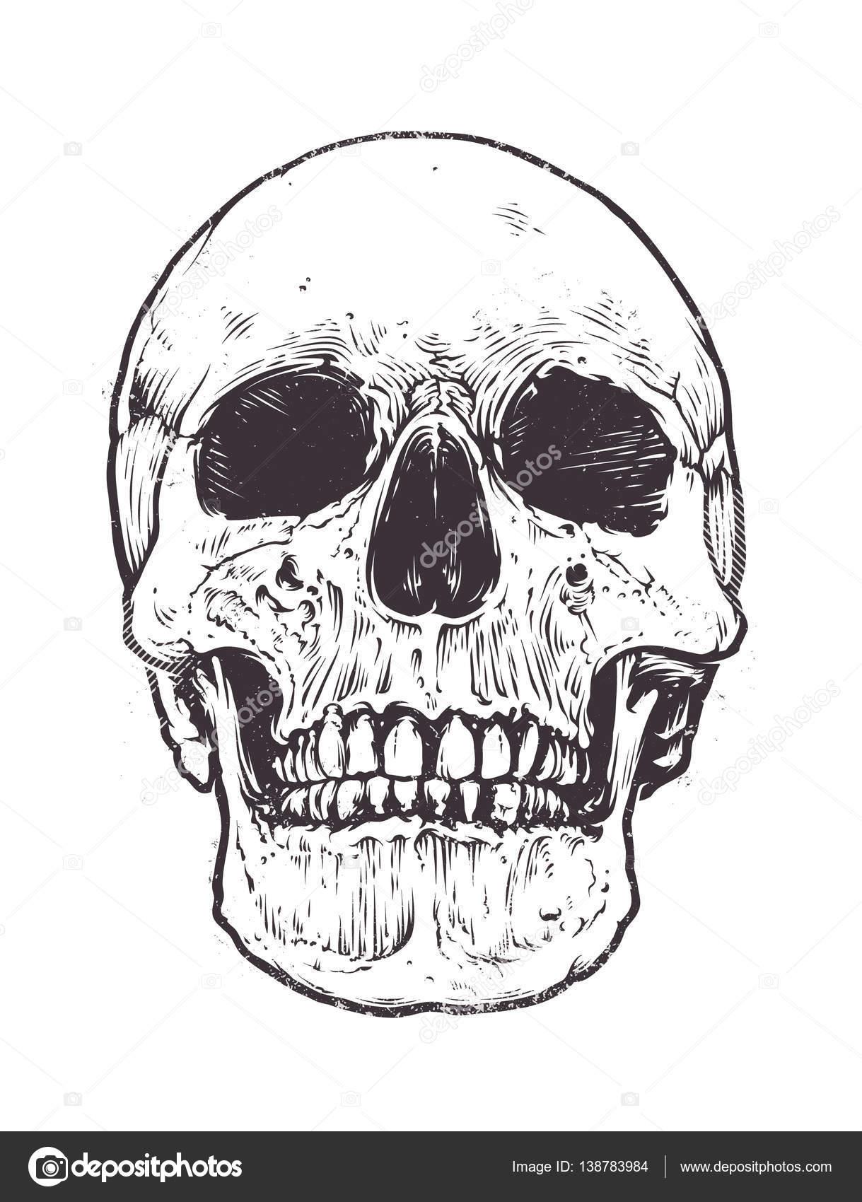 anatomic skull vector stock vector vecster 138783984 rh depositphotos com skull artwork vector sugar skull vector art