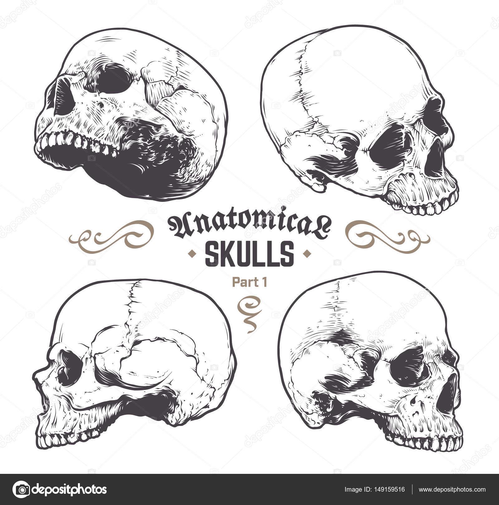 Anatomische Schädel-Vektor-Set — Stockvektor © Vecster #149159516