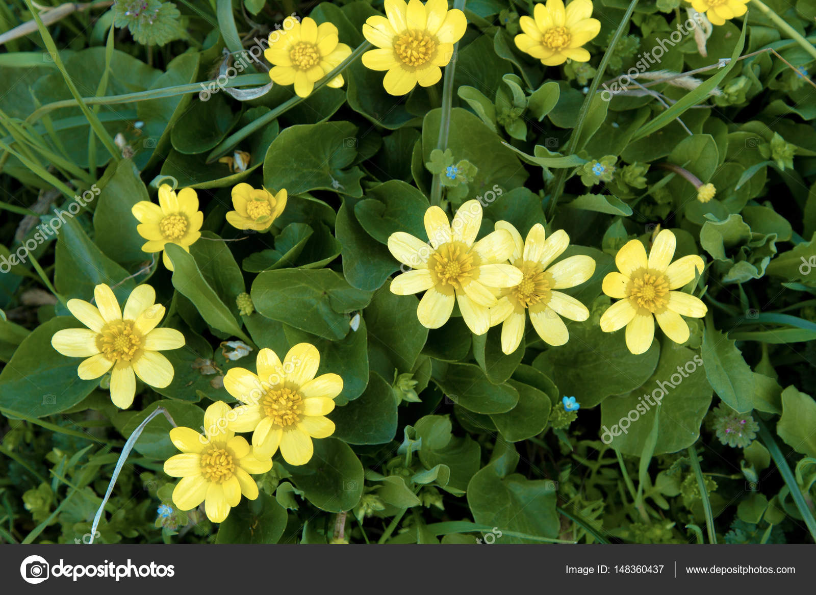 Beautiful yellow flowers on a green background in the garden stock beautiful yellow flowers on a green background in the garden stock photo izmirmasajfo