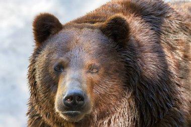 animal muzzle of a large brown bear predator