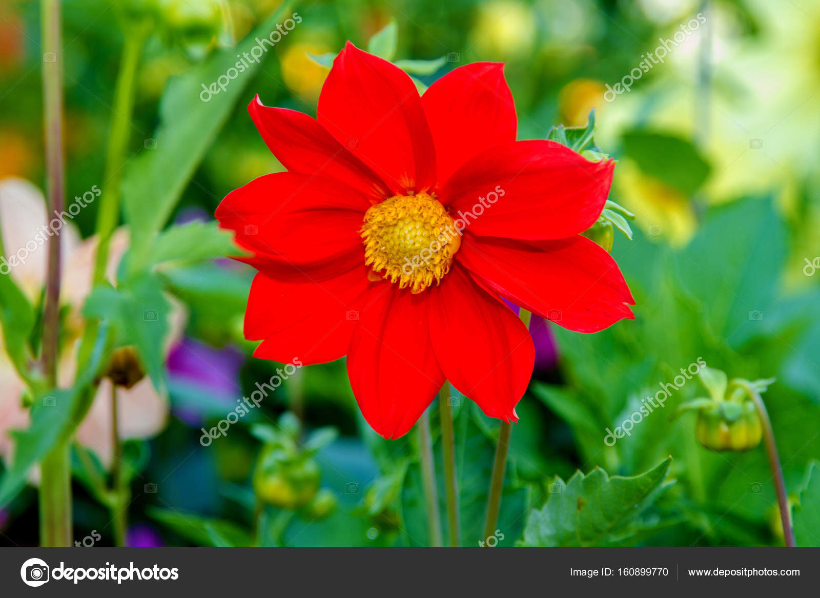 Flower Red Dahlia With Yellow Center Stock Photo Artex67 160899770