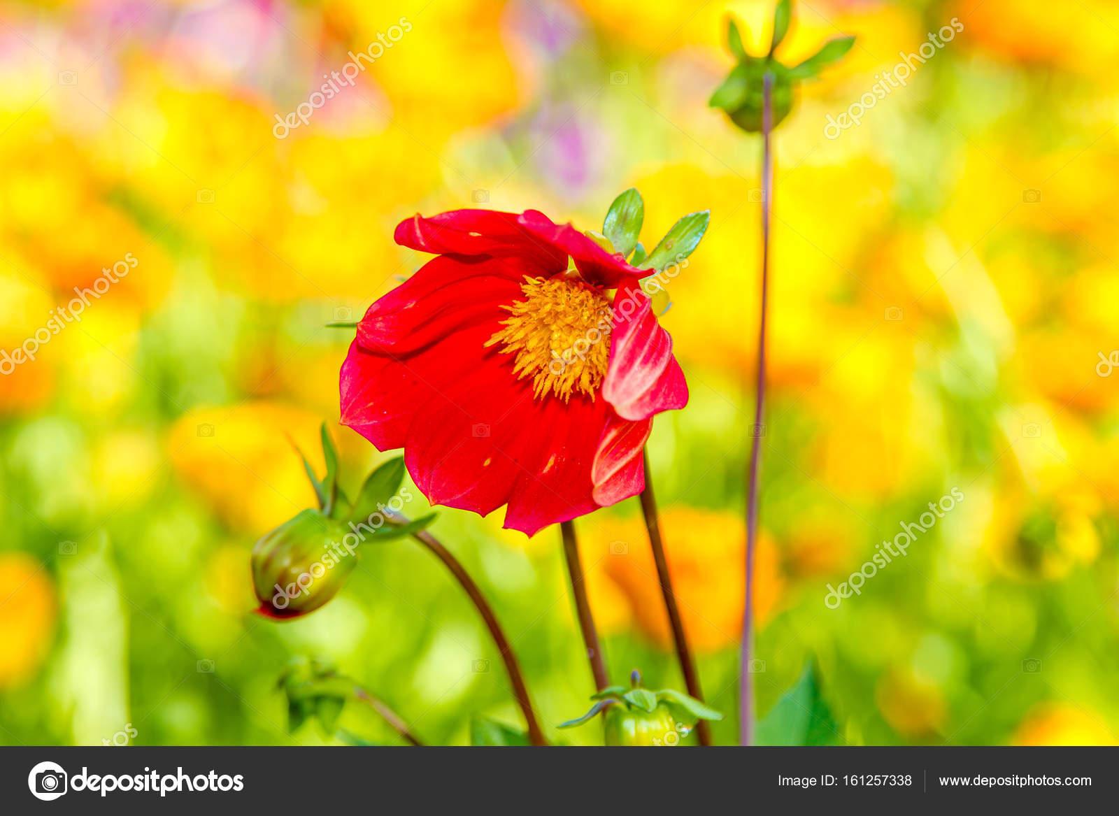 Flower red dahlia with yellow center stock photo artex67 161257338 flower red dahlia with yellow center stock photo mightylinksfo