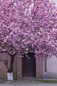 Sakura růžová Kvetoucí strom