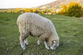 ovce pasoucí se na zelené louce