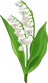 Lily of the valley illustraion