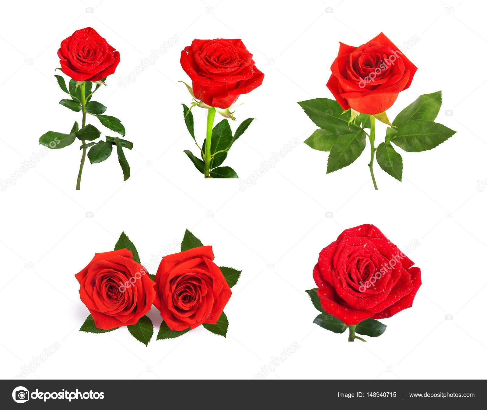 Insieme Di Belle Rose Rosse Per Il Disegno Isolato Su Priorità Bassa