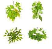 Fotografia ramo con foglie verdi, isolato su sfondo bianco