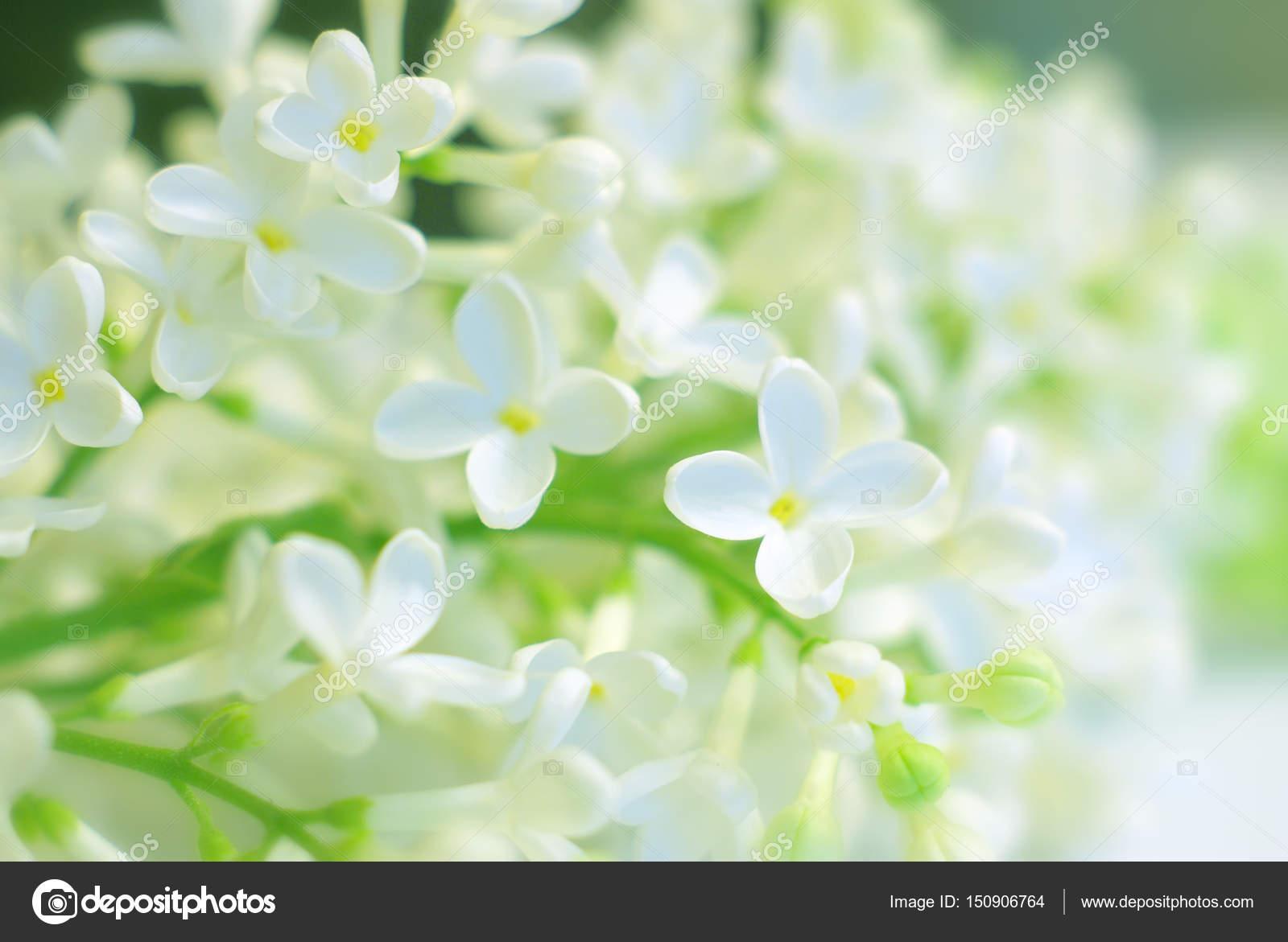 Bloom White Flower Delicate Stock Photo Antkevyv 150906764
