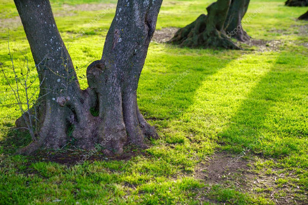 The root of the tree in the green grass.