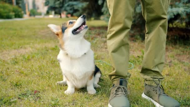Slow motion of lovable dog corgi breed sitting on grass near male owners legs