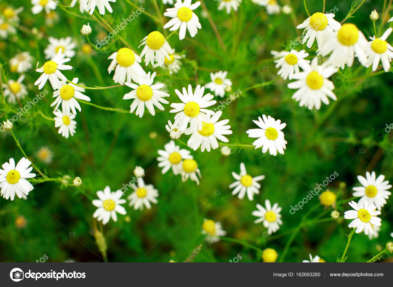 Summer field of daisy flowers stock photo arkusha 162693280 summer field of daisy flowers stock photo izmirmasajfo