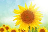Žluté slunečnice v letním dni