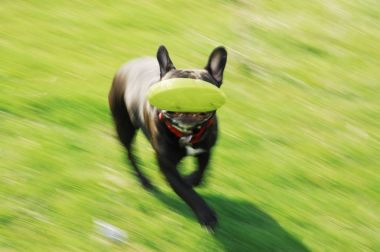 Black french bulldog catching frisbee in motion in the park