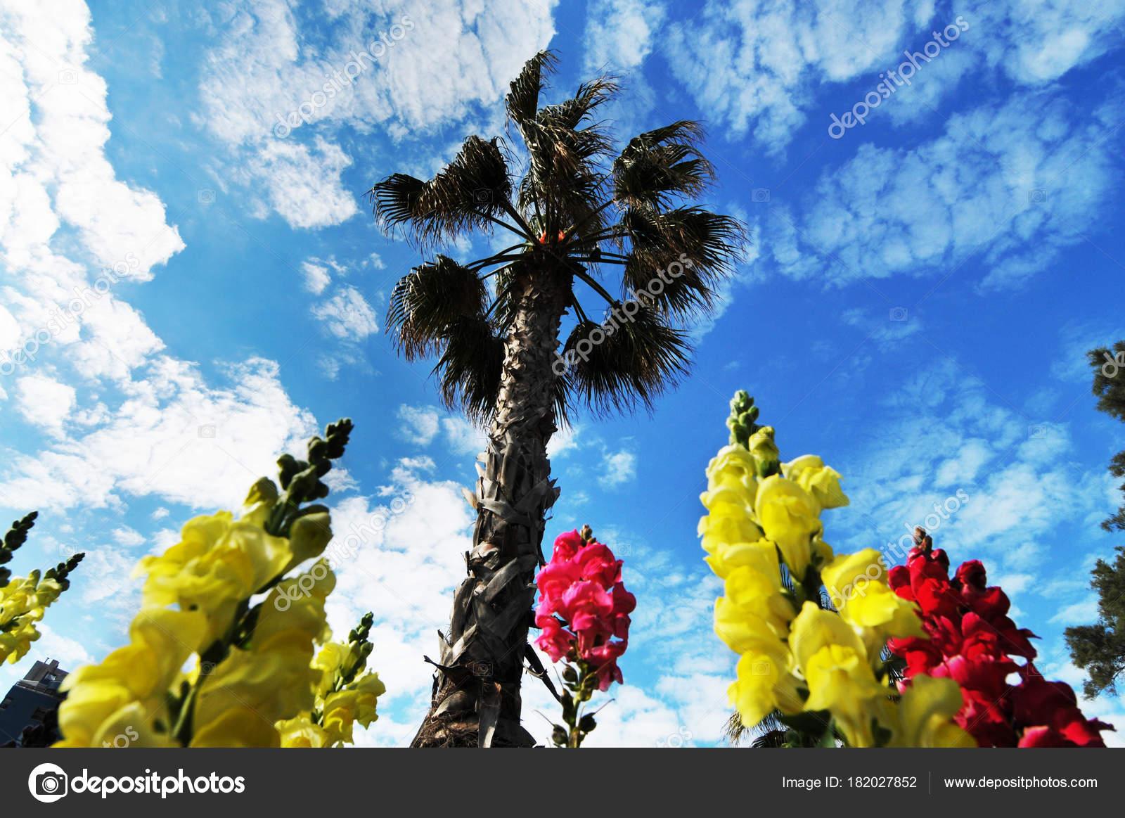 High palm tree yellow pink flowers blue sky clouds stock photo high palm tree yellow pink flowers blue sky clouds stock photo mightylinksfo