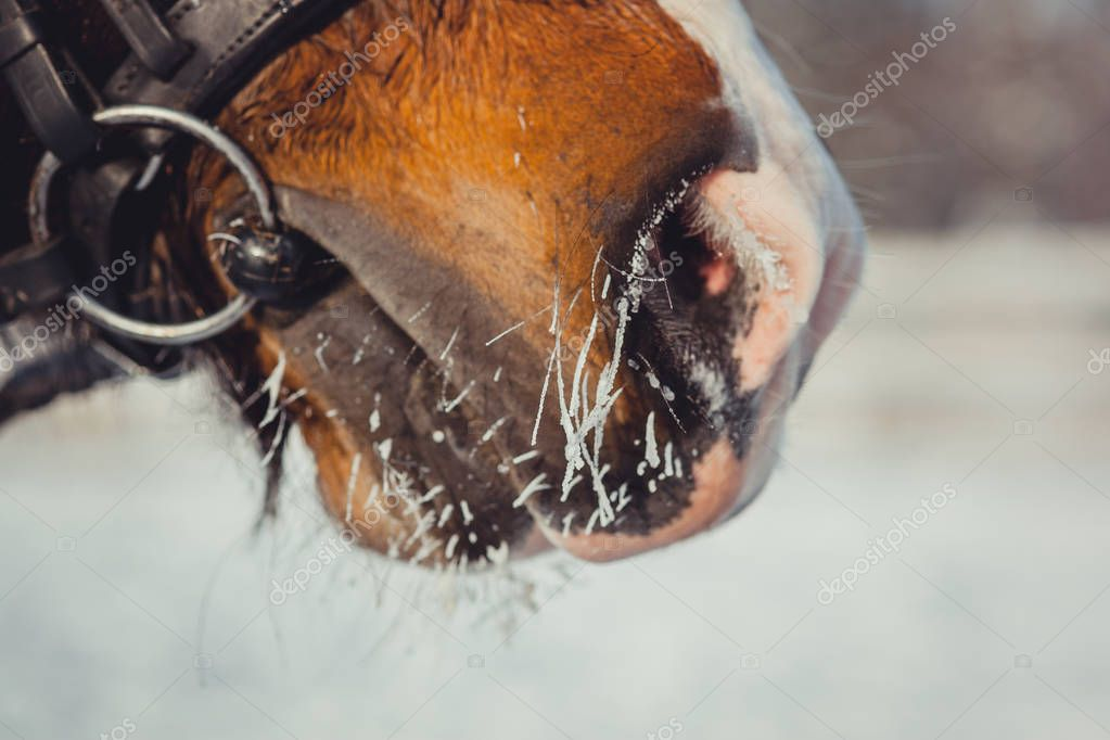 Winter horse portrait