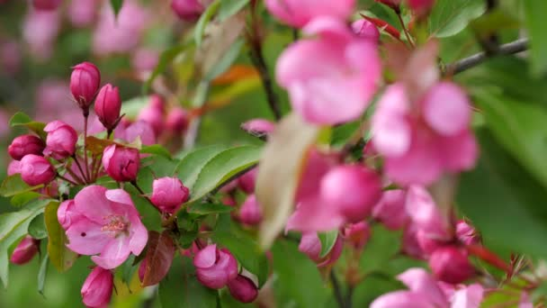 Branch of Blooming Apple Tree. Close Up View. Moving focus.