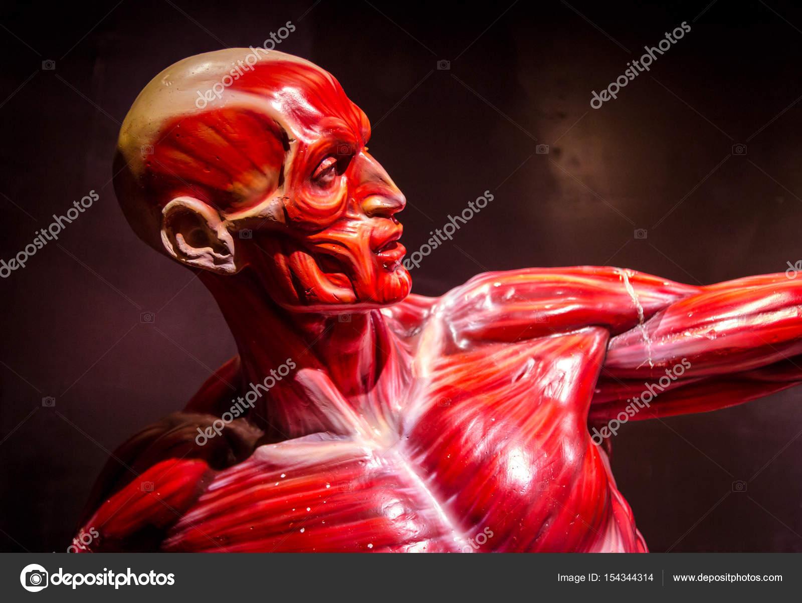 Human Muscles Anatomy Model On Black Stock Photo Gilmanshin