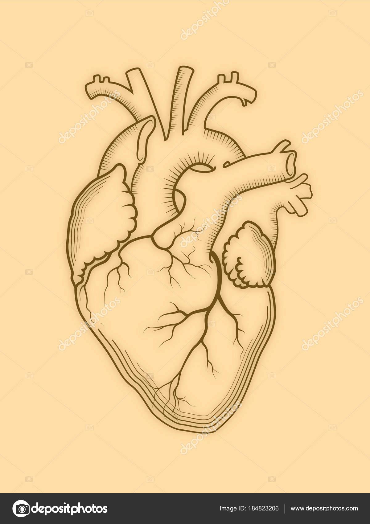 Corazón. El órgano humano interno, estructura anatómica — Vector de ...