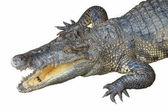Photo Crocodile head with open jaws
