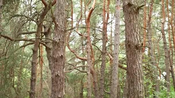 Pilíře stromů v lese