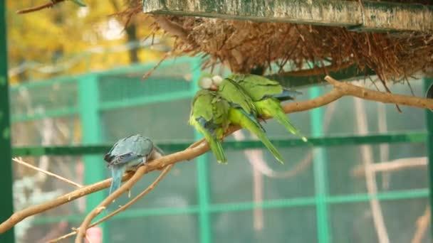 Mnoho papoušků. Zelené ptáci jsou silně hrubý s sebou. Video se zvukem