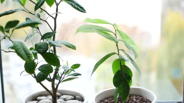 Rostliny na okně. Kapky vody padají na zelené listy