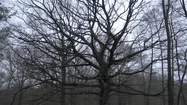 Big, old, winter leafless oak tree.