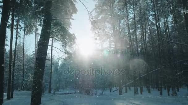 Skvělé zimní les, sněhová bouře v borovém lese zimní