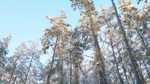 Vrcholky stromů v zimním lese. Rotace na obloze