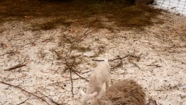 Hospodářských zvířat, ovcí koz a prasat