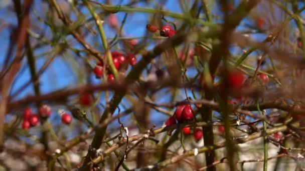 Egy fa ága a vörös csipkebogyó