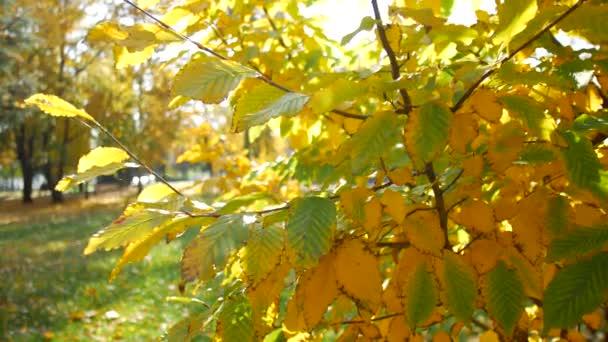 Žluté podzimní listí na stromech na slunci. Teplé podzimní dny