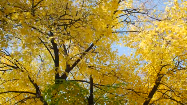 Yellow autumn leaves on trees in the sunshine. Warm autumn days