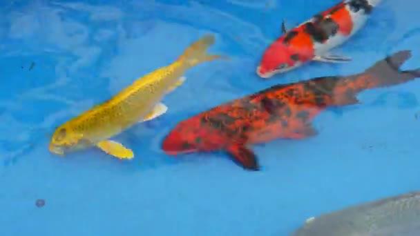 A többszínű pontyok kék vízben úsznak.